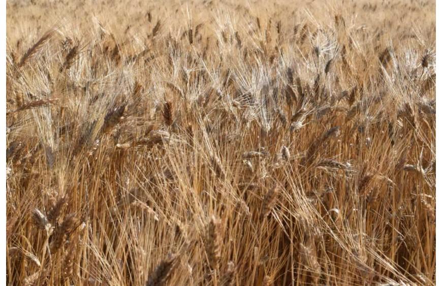 Cereales sin gluten para celíacos